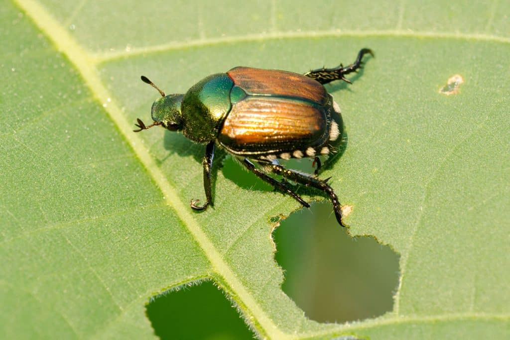An up close photo of a Japanese beetle on the leaf