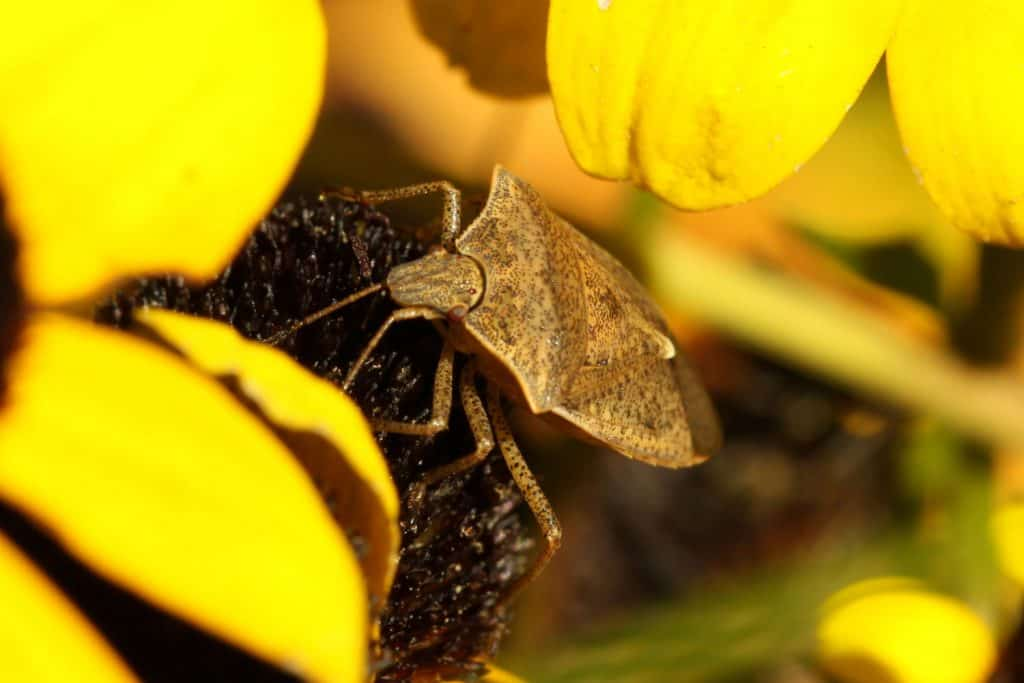 An up close photo of a spined soldier bug crawling on the flower