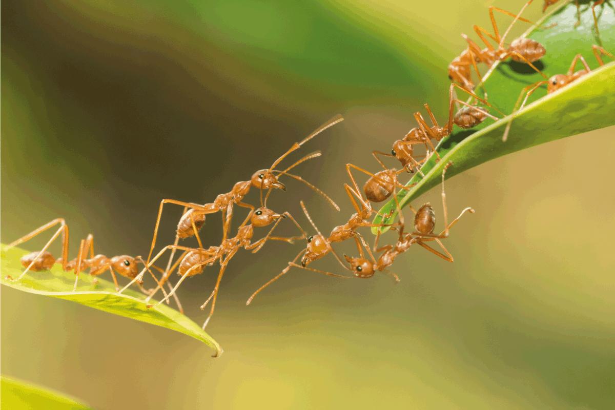 Ant action standing. Ant bridge