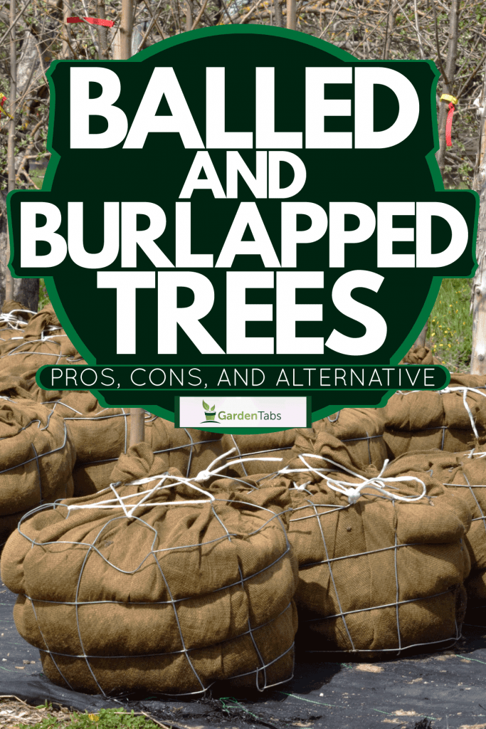 Tree saplings with burlap roots at a small plantation, Balled-And-Burlapped Trees: Pros, Cons, And Alternatives