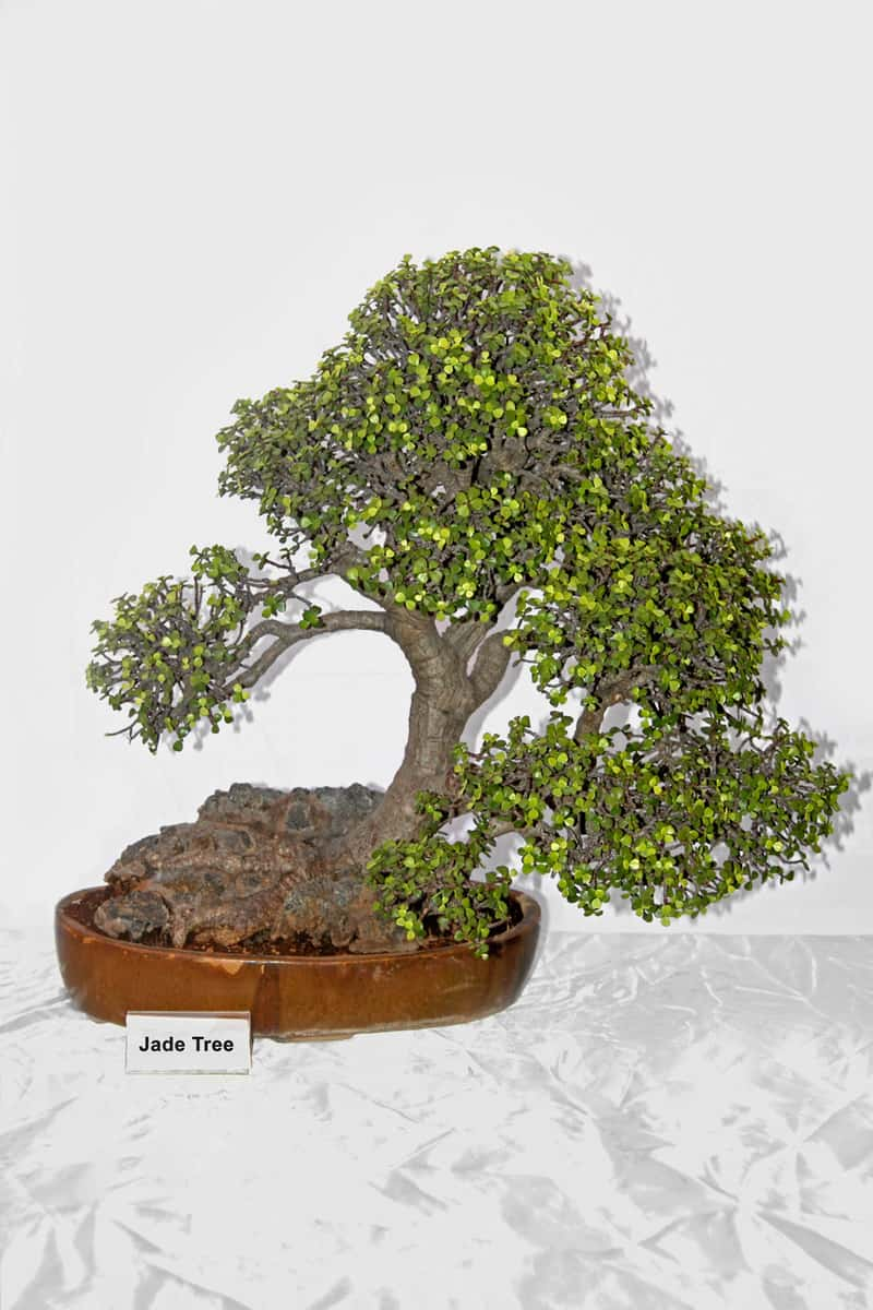 Bonsai Tree Of Jade Tree