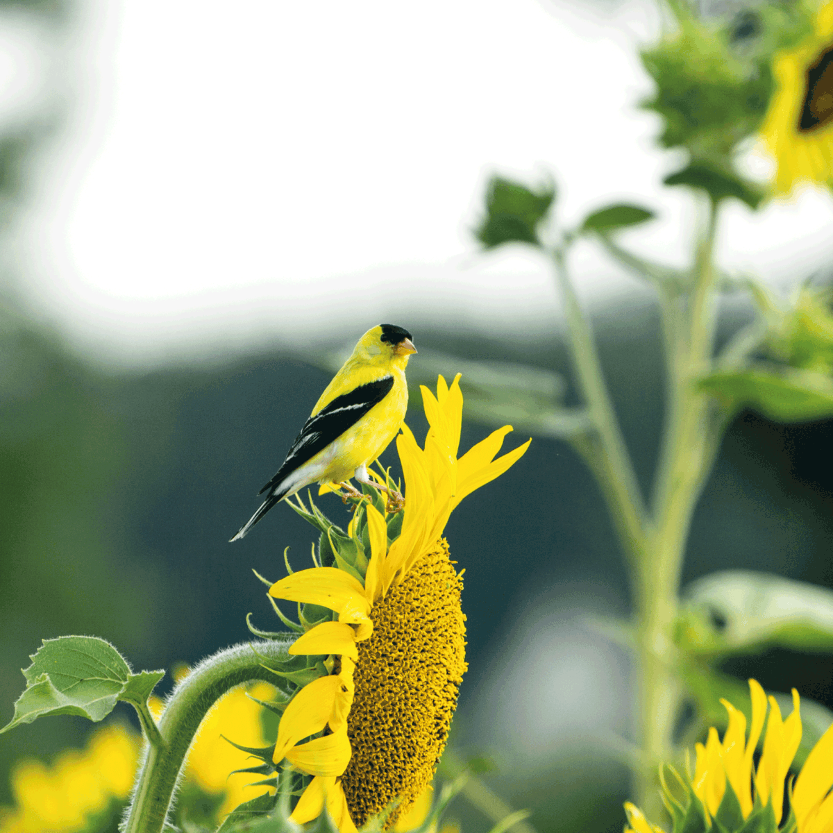 Bright yellow goldfinch sits on sunflower in a sunflower field on a summer day.