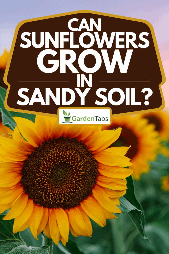 A field of young orange sunflowers, Can Sunflowers Grow In Sandy Soil?