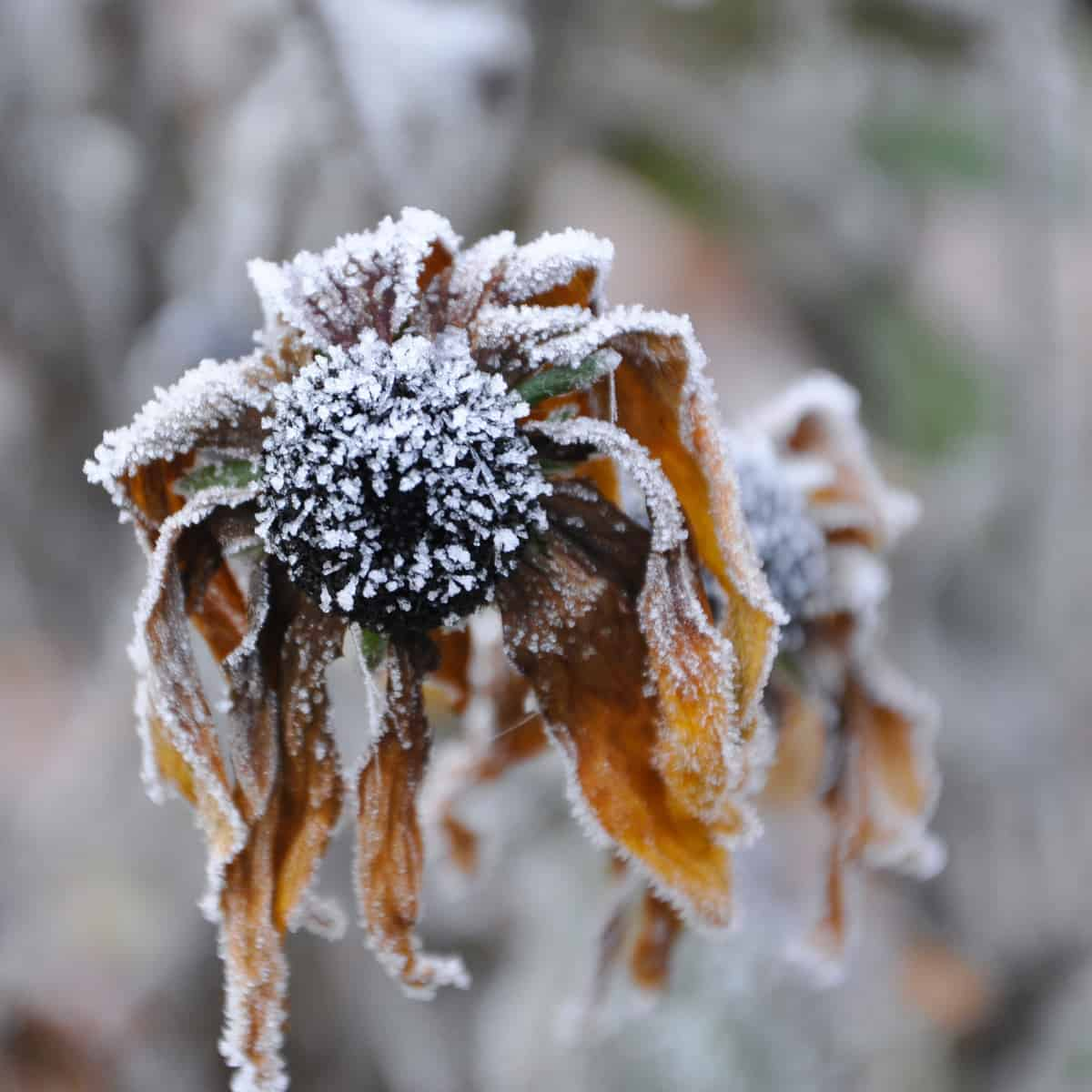 Closeup of a frozen faded blossom of a cone flower