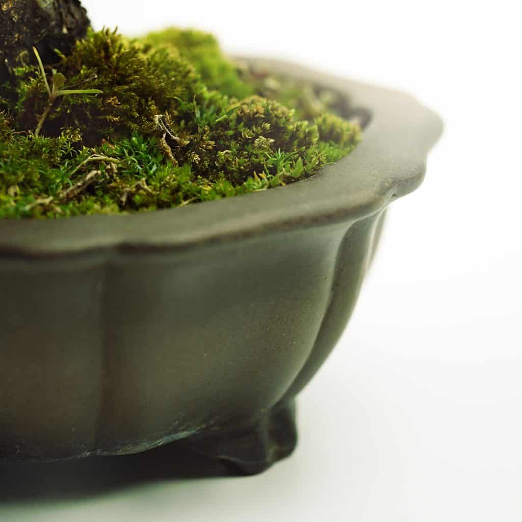 Detail of a japanese bonsai pot with beautiful moss and small grass