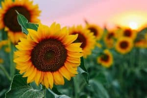Read more about the article Can Sunflowers Grow In Sandy Soil?