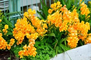 Read more about the article What To Do With Freesia Bulbs After Flowering?