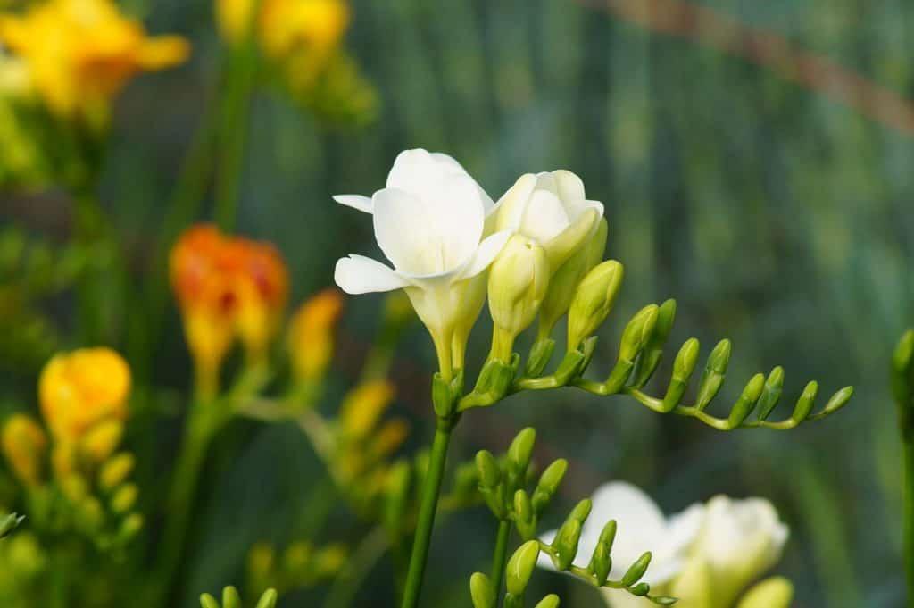Freesia flower nursery