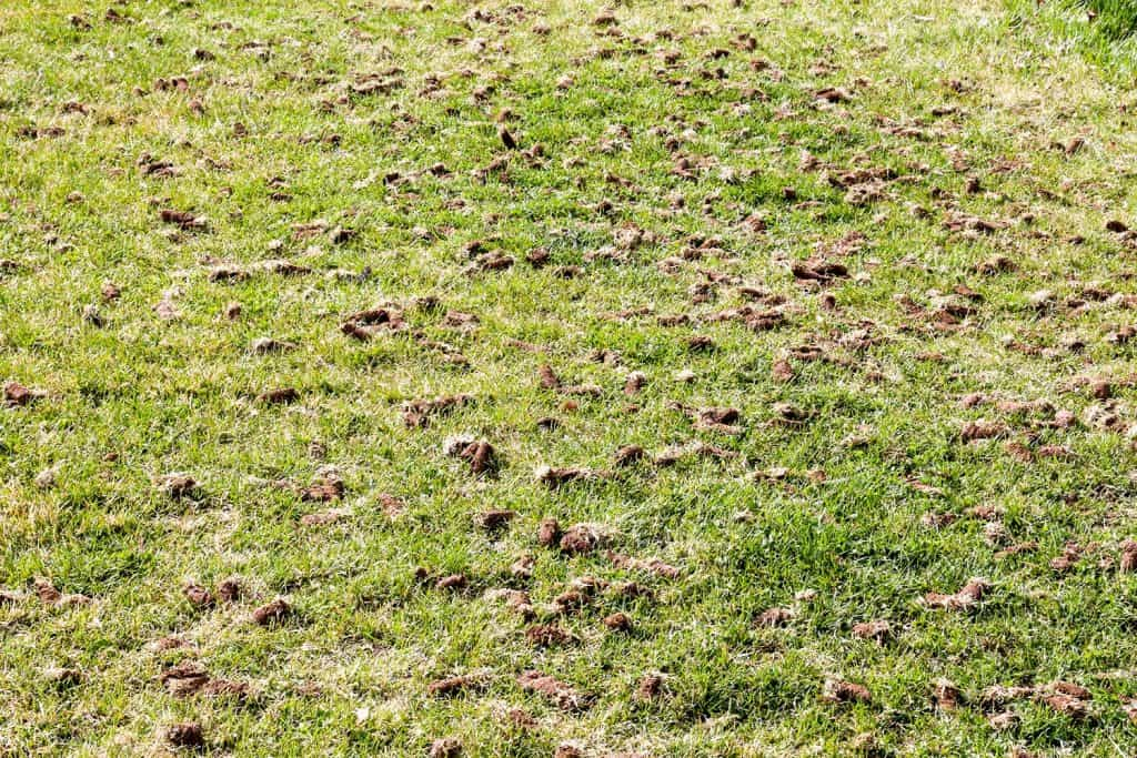 Full frame aerated lawn with dirt clumps on grass