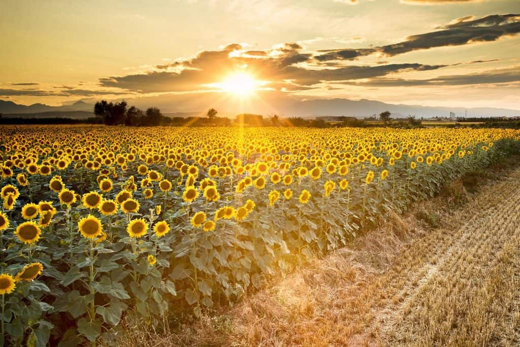 Golden sunflowers with sunrise on the background