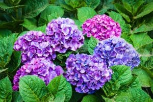 Read more about the article What Is Eating My Hydrangea? [And How To Stop Them]
