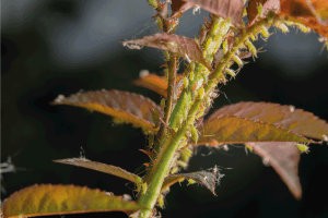 Read more about the article How Often Should You Spray Roses For Aphids?