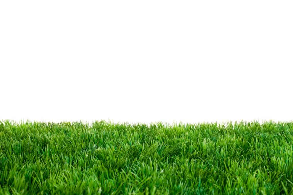 Healthy St. Augustine grass on a white background