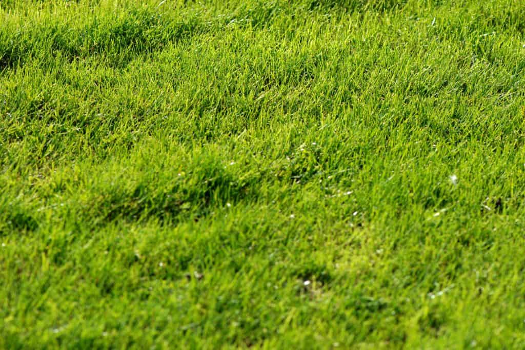 Healthy St. Augustine grass on the fieled