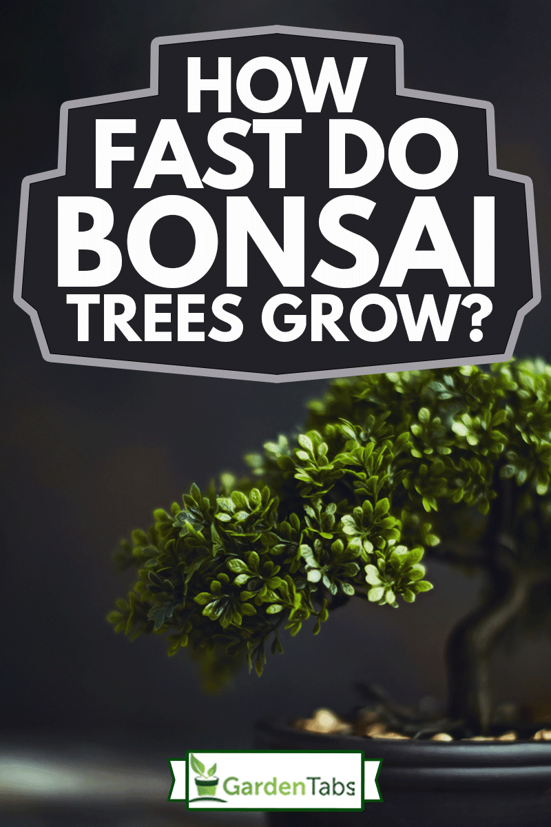 Tiny bonsai tree, How Fast Do Bonsai Trees Grow?