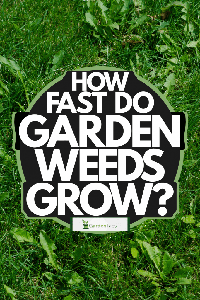 Weeds growing on the garden photographed up close, How Fast Do Garden Weeds Grow?