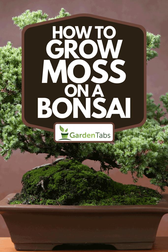 A lush bonsai planted on plastic planter, How To Grow Moss On A Bonsai