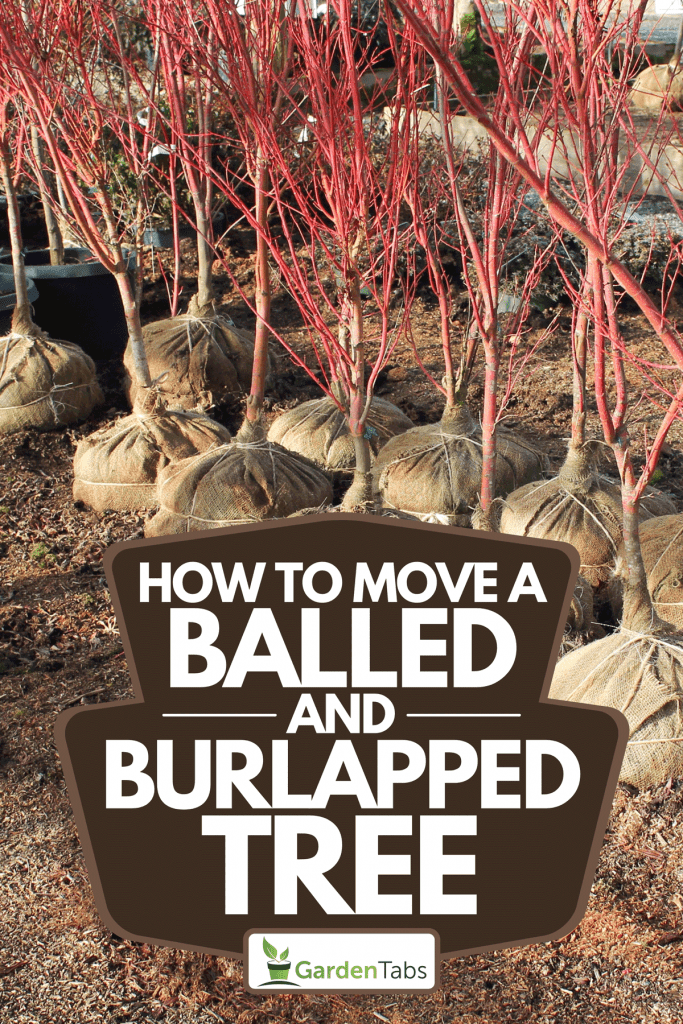 A burlap-balled trees ready for planting, How To Move A Balled And Burlapped Tree