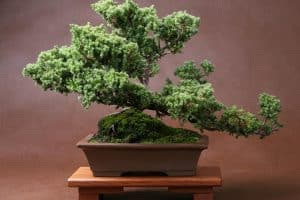 Lush bonsai planted on plastic planter, How To Grow Moss On A Bonsai