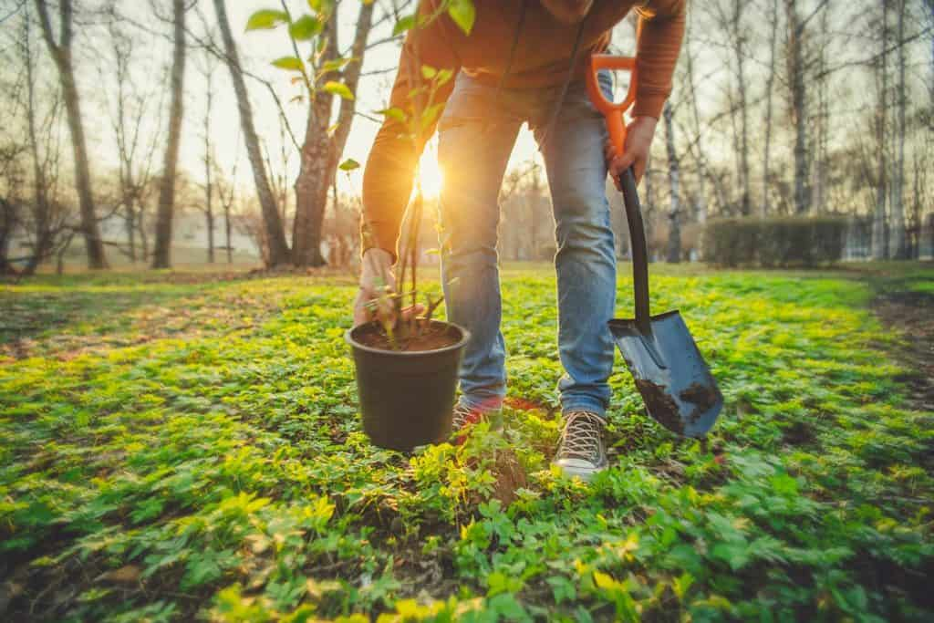 Man planting tree on Arbor day in springtime