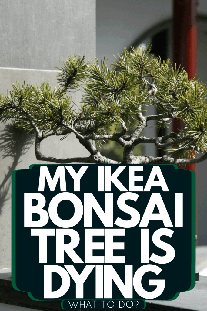 A small gorgeous bonsai tree in a small rectangular grey pot, My Ikea Bonsai Tree Is Dying - What To Do?