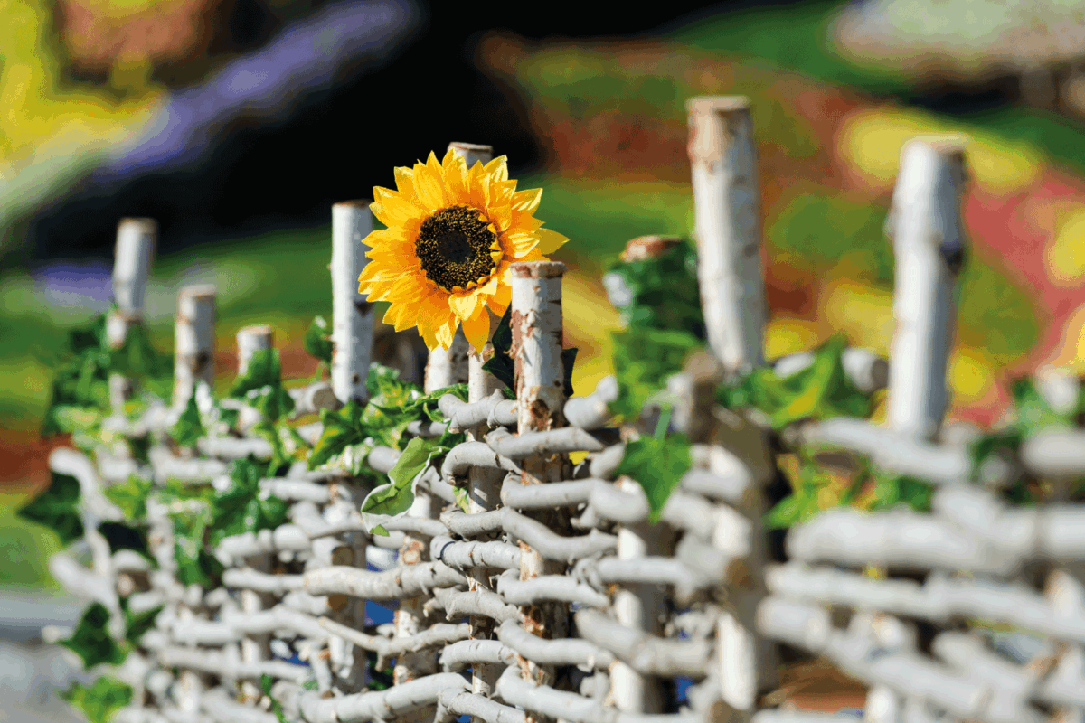 Sunflower in the garden at the fence