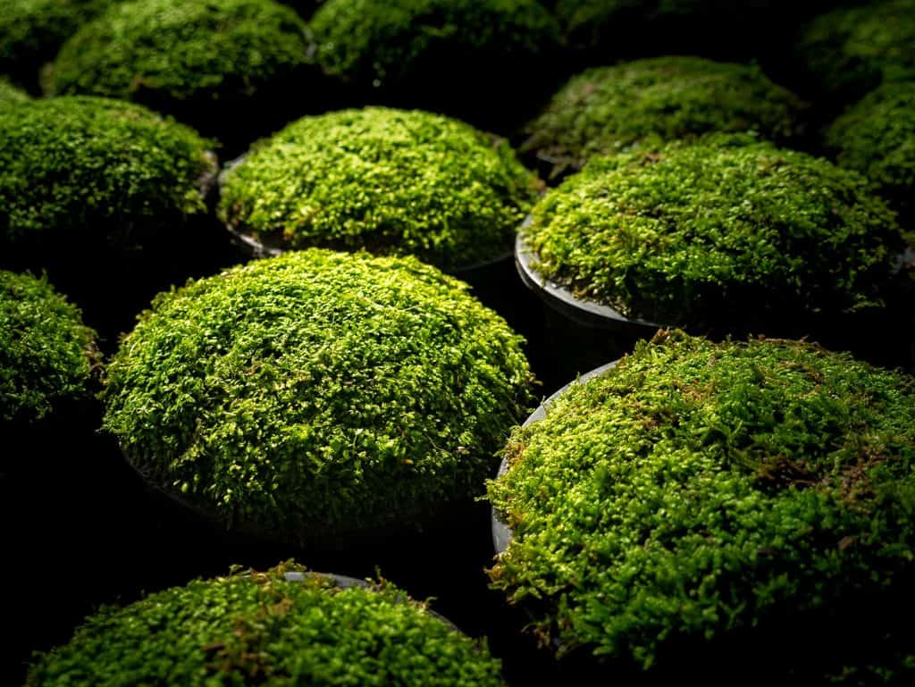 The moss put in a pots in a row preparing to sale