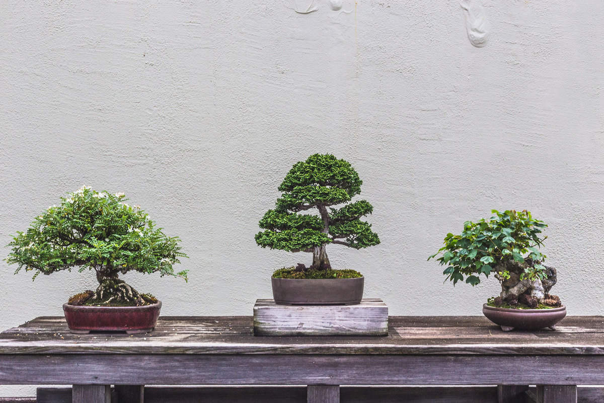 Three Bonsai Trees displayed on a weathered wood table