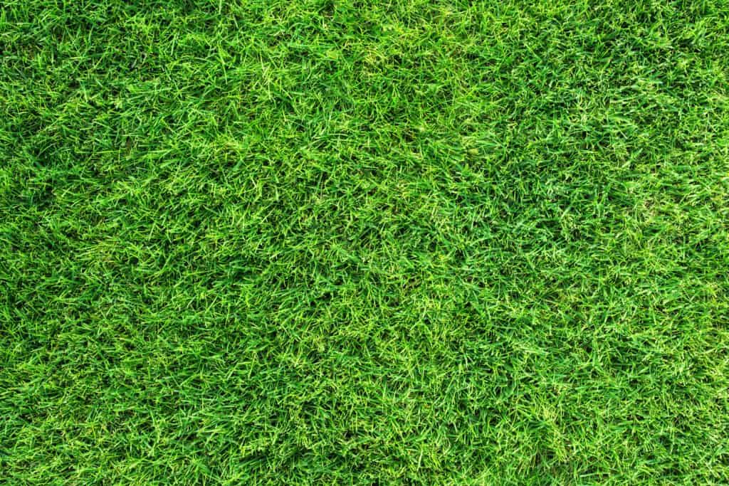 Top view of St. Augustine grass