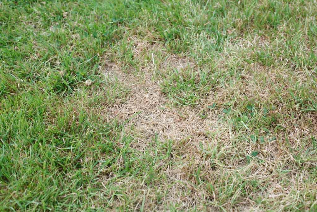 Unhealthy grass withering and wilting