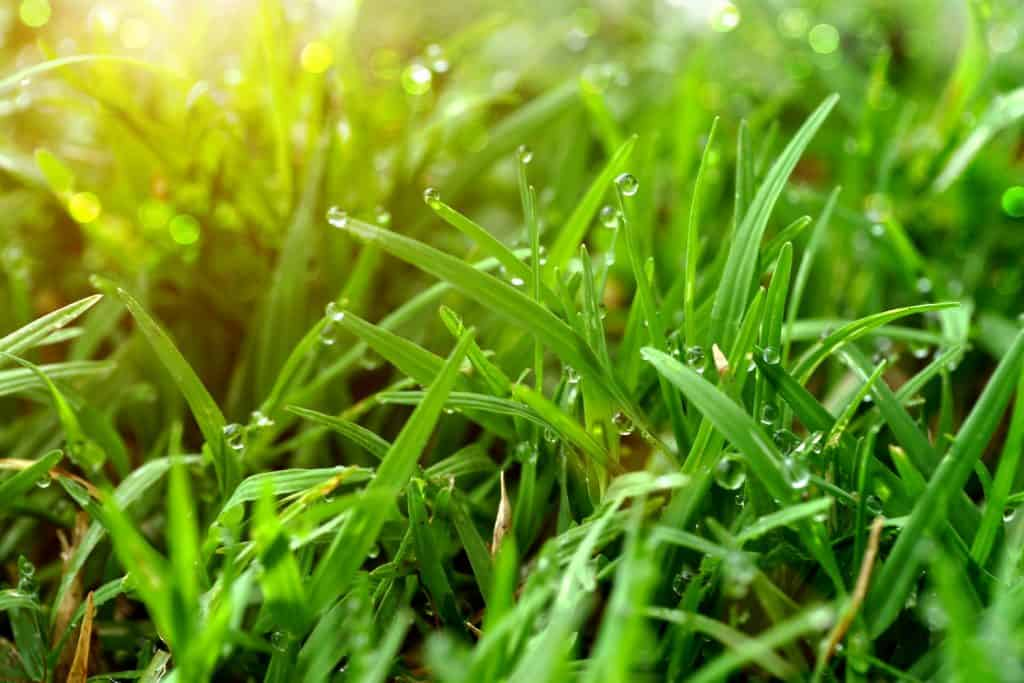 Up close photo of St. Augustine grass