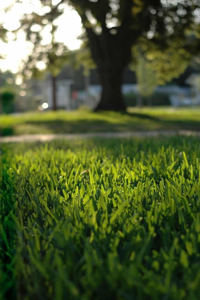 Up close photo of healthy St. Augustine grass