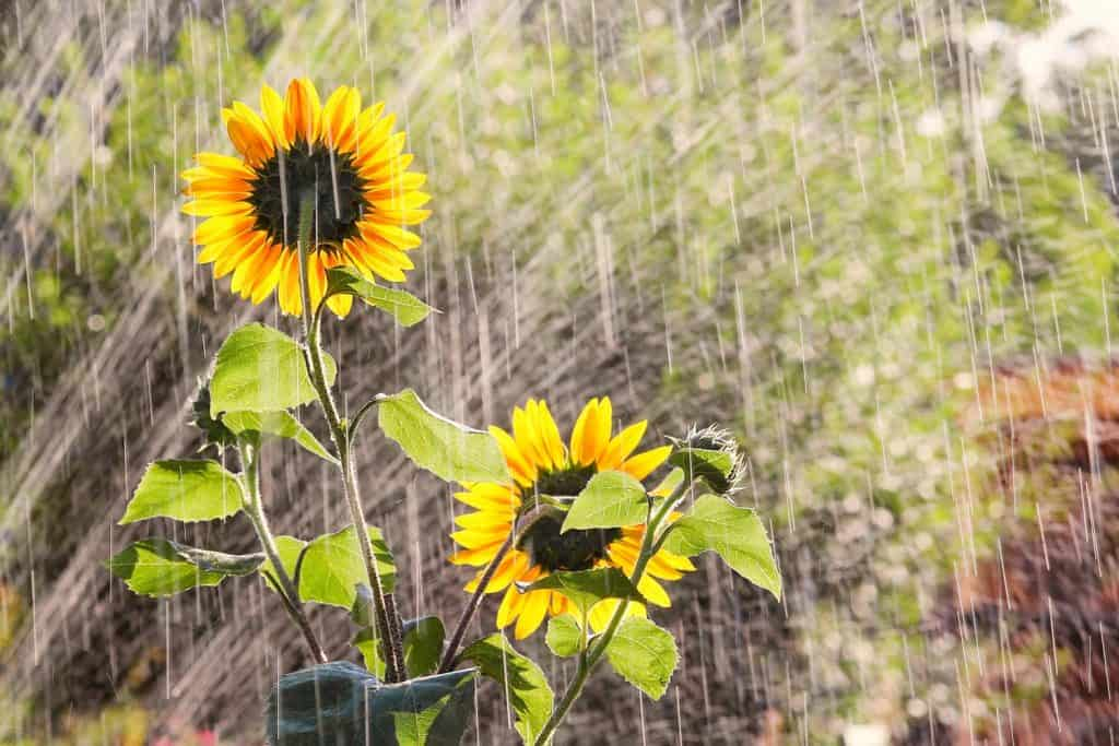Watering the garden with sunflowers
