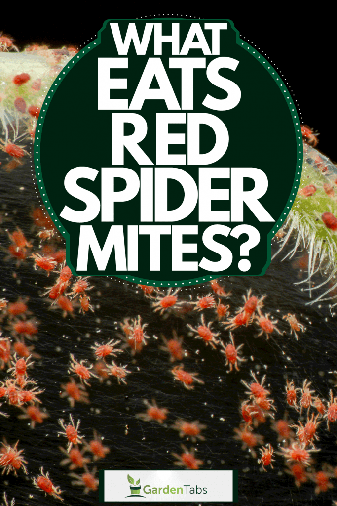 Red spider mite infestation on the leaf making a network of webs, What Eats Red Spider Mites?