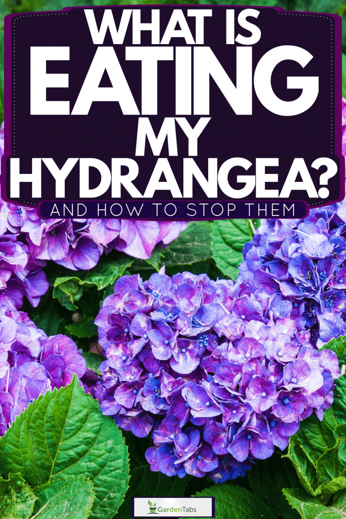 Gorgeous bright violet colored hydrangeas at full bloom on the garden, What Is Eating My Hydrangea? [And How To Stop Them]