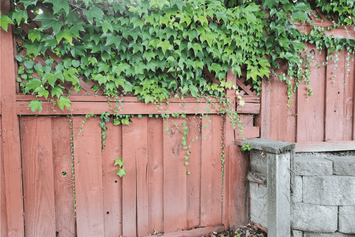 Wooden fence with ivy and a retaining wall