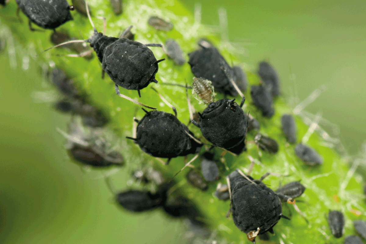 black aphids close up photo on a plant branch