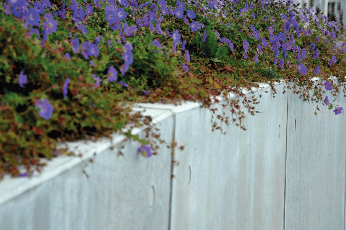 blue, recumbent, perennials growing on granite cubes retaining wall