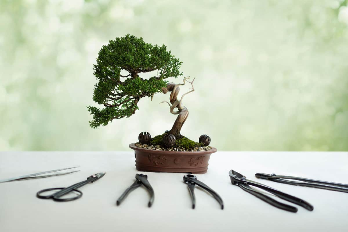 bonsai tree and tools on white table
