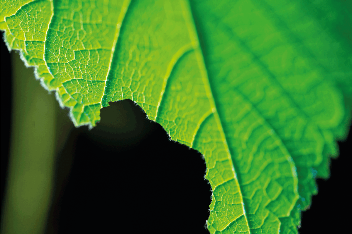 close up photo of sunflower leaf eaten by a bug