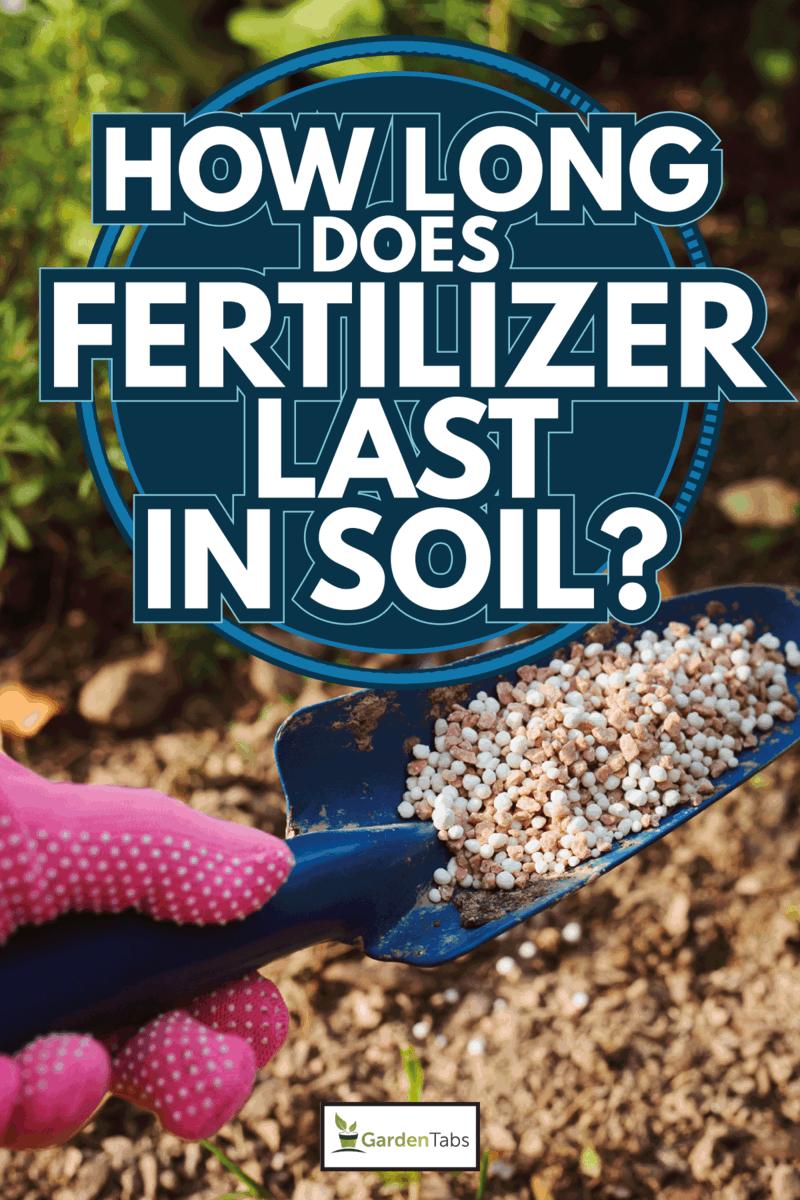 fertilizing garden plants in summer. Gardener hand in glove doing seasonal yardwork. How Long Does Fertilizer Last In Soil