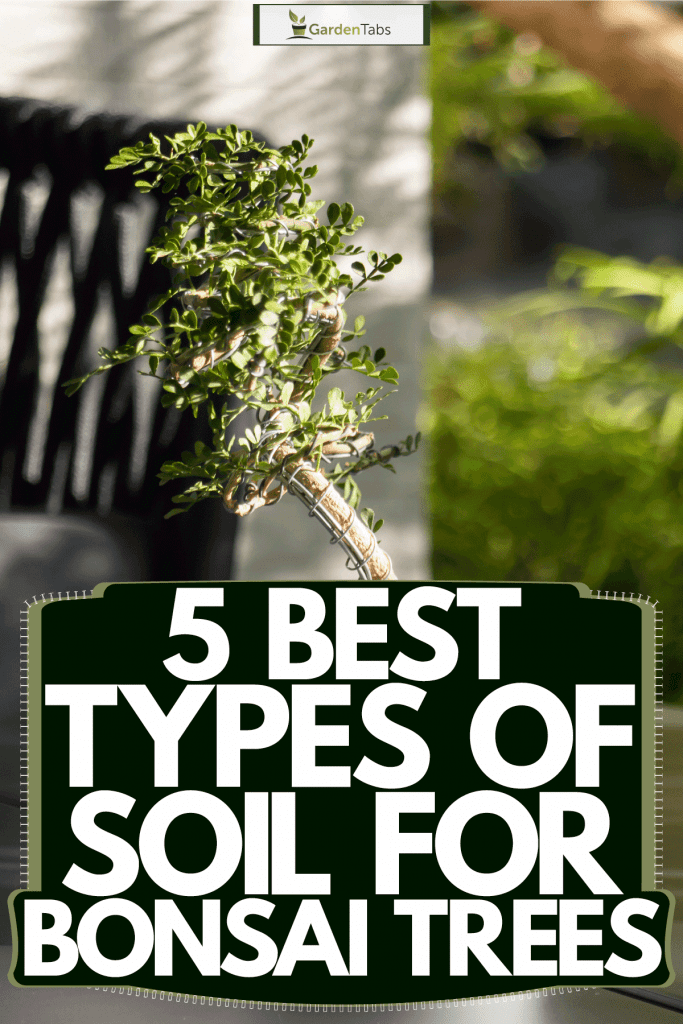 A small bonsai tree in a white pot to propagate, 5 Best Types Of Soil For Bonsai Trees
