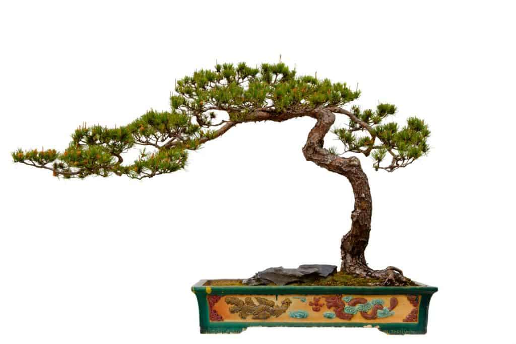 A Masons pine bonsai tree in a small green pot with decorative dragon engraving