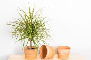Read more about the article Why Is My Dragon Tree Dying? [With Tips On What To Do About It]