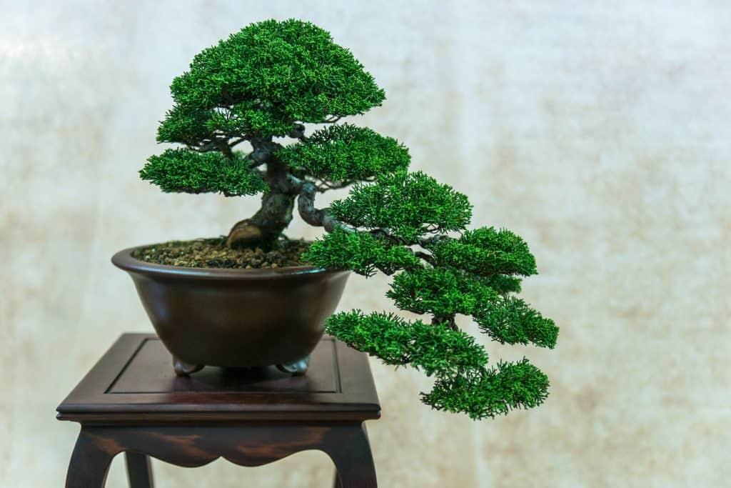 A beautiful bonsai tree in a black clay pot