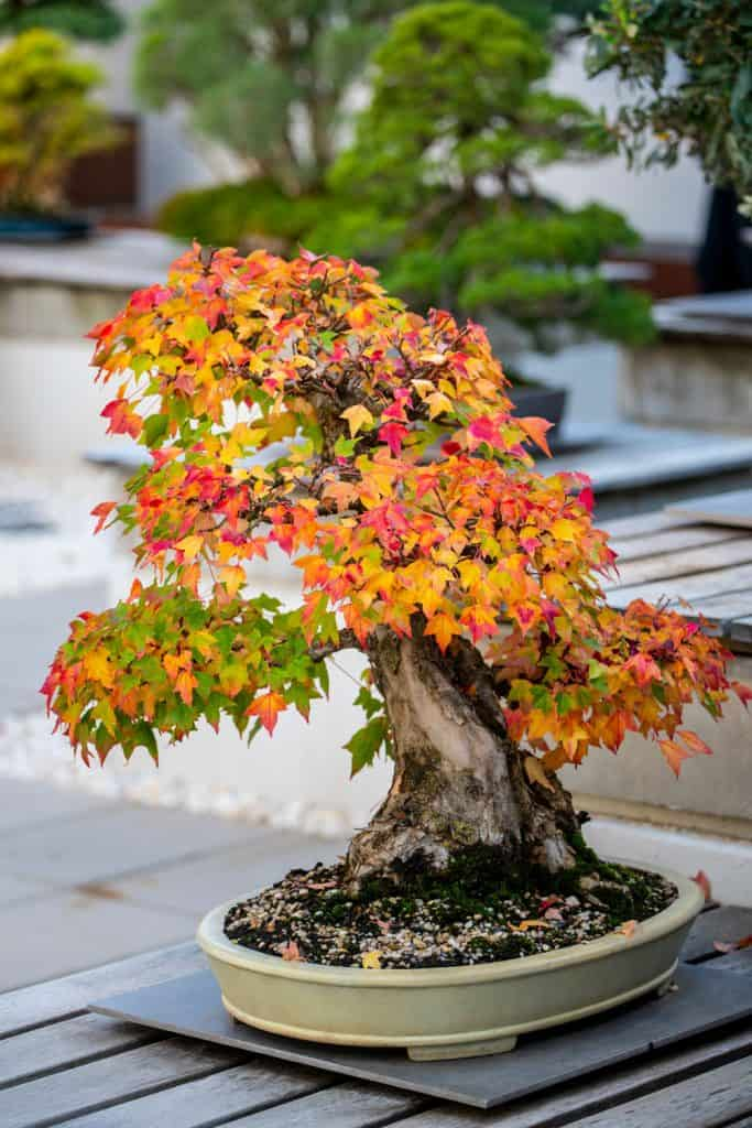 A bonsai tree with autumn leaves in a small grey ceramic pot