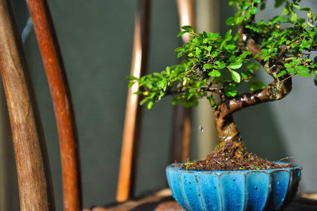 A gorgeous and properly maintained bonsai tree