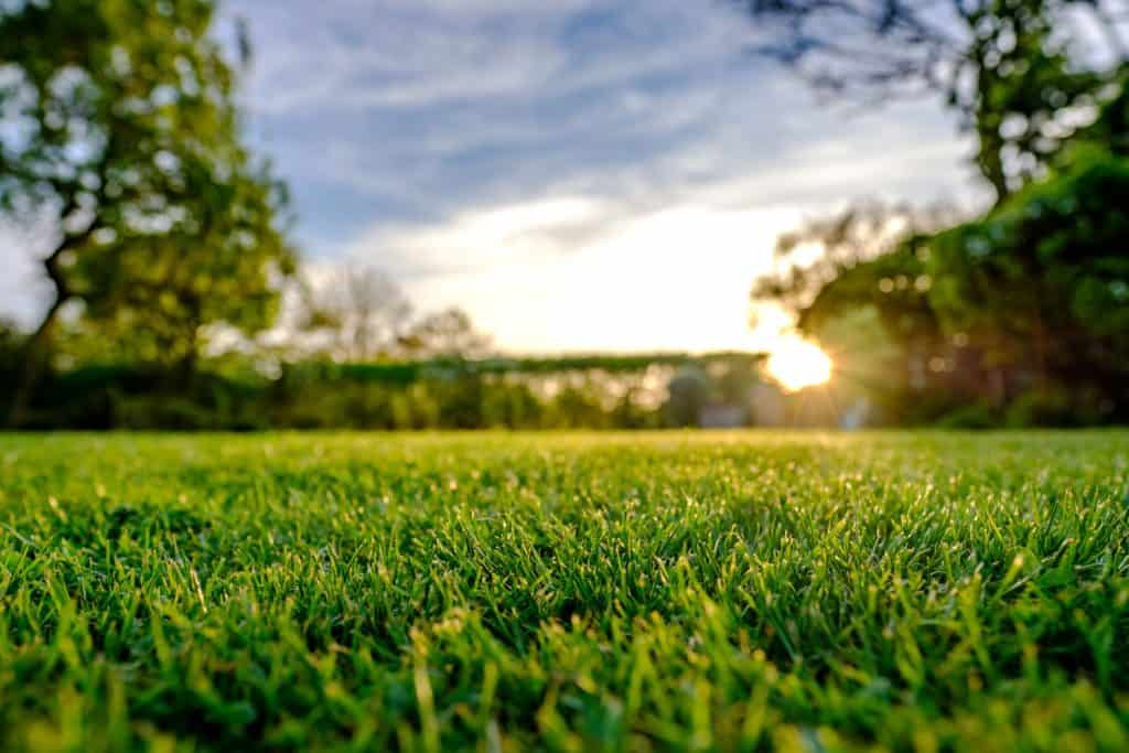 A selective focus photographed of a healthy lawn at sunset