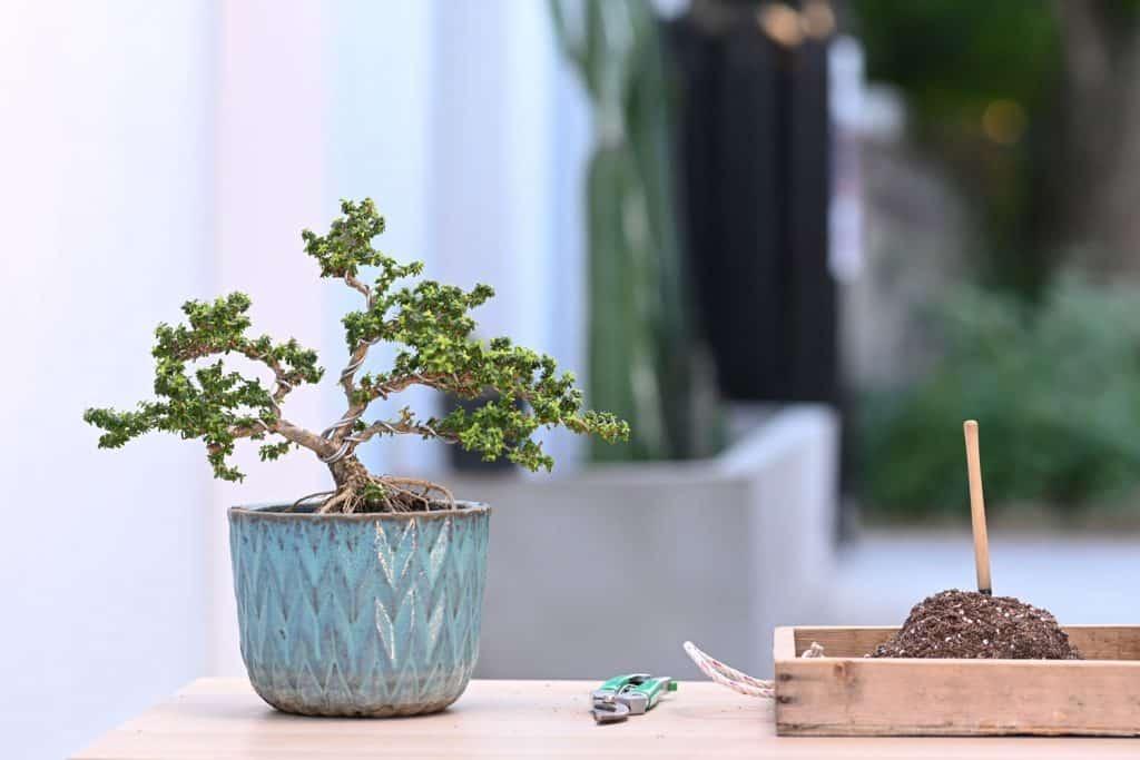 A small bonsai tree in a blue pot to propagate