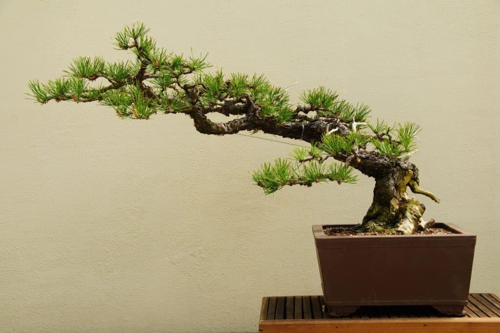 A small bonsai tree in a small wedge rectangular pot